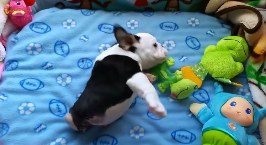 Bulldog Puppy Born With Half A Spine Just Wants To Love On Everybody