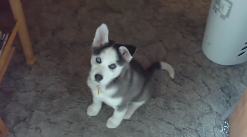 He Told His Husky Puppy, 'I Love You.' The Little Guy's Response Is Adorable