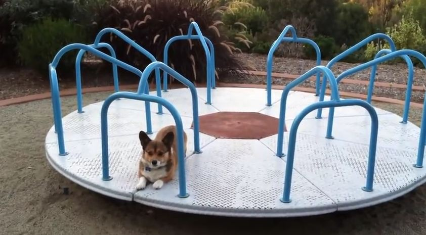 Playtime For This Corgi Is So Awesome, You Won't Be Able To Look Away