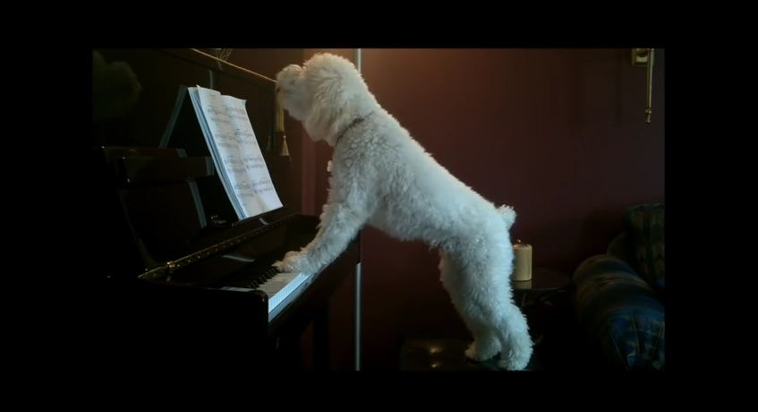 They Say Practice Makes Perfect…But Not For This Piano-Playing Pup