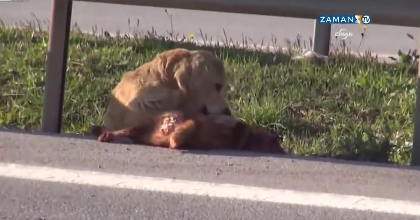 Heartbreaking moment: Loyal dog tries to protect friend hit by a car and left for dead