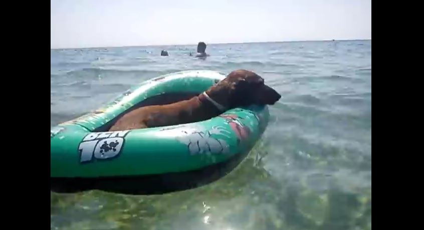 Hilarious Dachshund on holiday