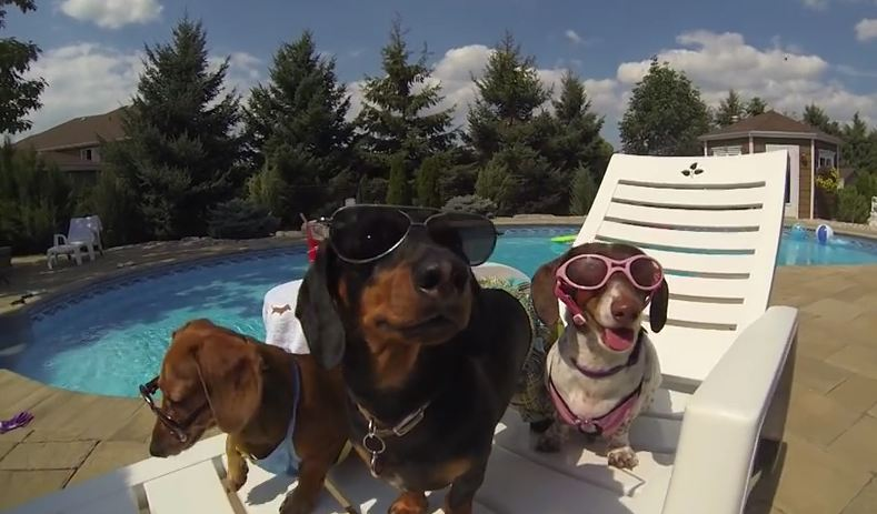 Wiener Dog Pool Party – Featuring Crusoe Celebrity Dachshund – GoPro
