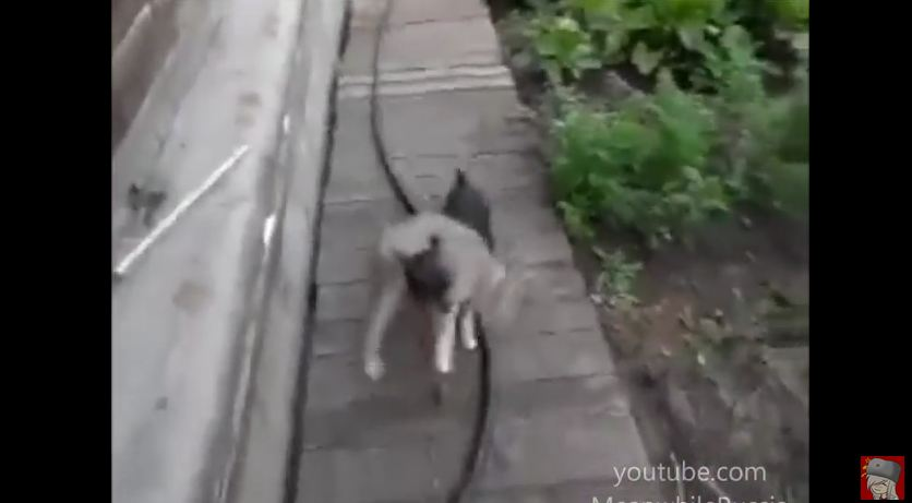 Dog Knows How to Handle a Defiant Cat