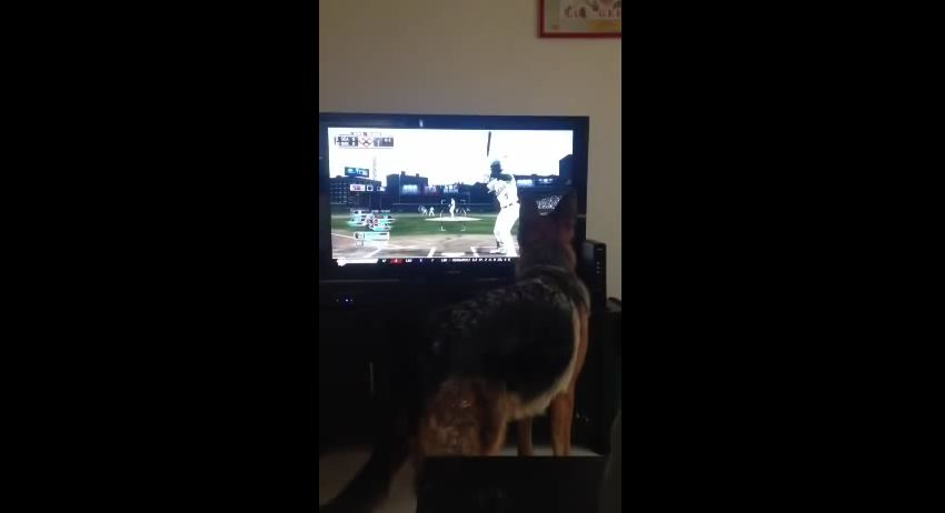 German Shepherd Is Convinced The Ball Is In The TV Set