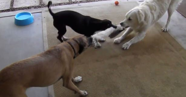 Dogs Square Off In Tug of War!