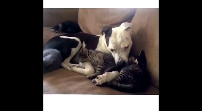 Bella the Pit Bull Fosters Orphan Kittens