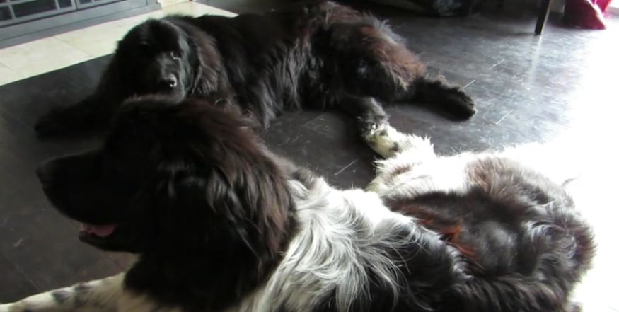 Giant dog jealous of new foster pet