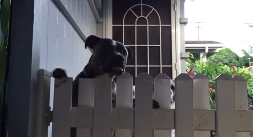 PitBull Decides Their Fence Needs Work And Decides To Help..Every Single Morning
