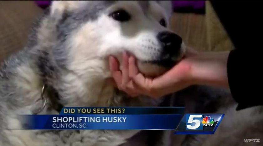 You'll Never Believe What This Husky Did When He Snuck Into A Local Store