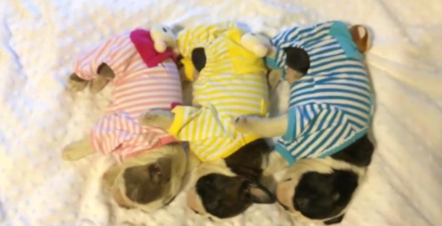 Boston Terrier puppies sleep adorably in pajamas