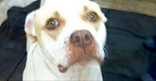 A Neglected Pit Bull Wandered Onto A Random Porch Looking For Help. When The Woman Saw The Dog, She Started Crying
