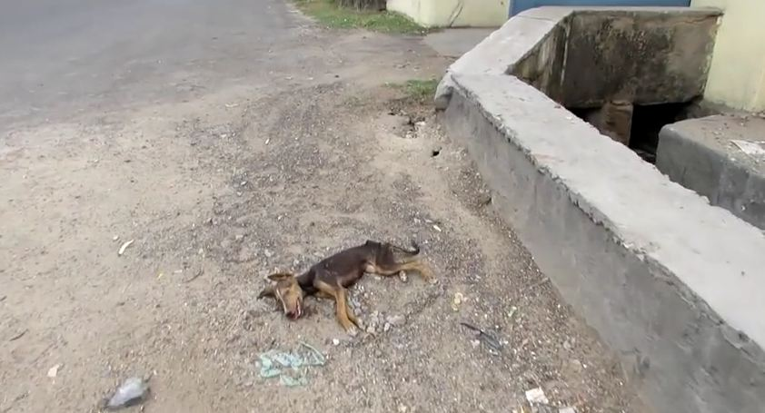 This Collapsed Puppy Was Close To Death. Now Watch Her Miraculous Recovery