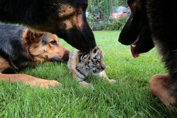 Meet The Tiger Cub That's Being Raised By Dogs