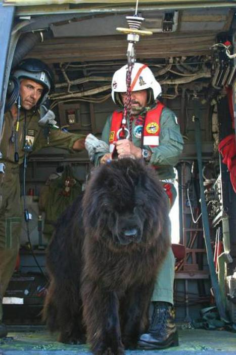 08-newfoundland_rescue_dog
