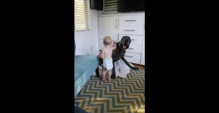This Baby Shows His Big Great Dane Dog Exactly Who's The Boss – Too Cute!
