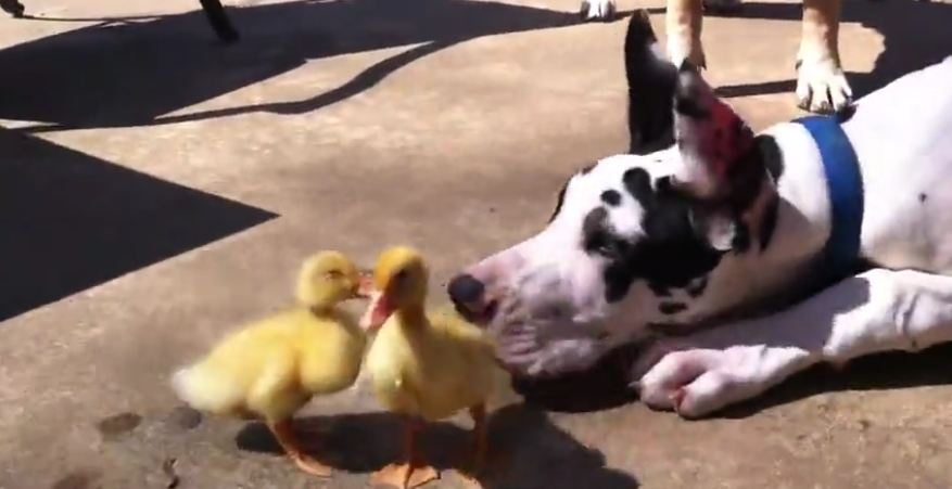 Great Dane and 200lb Mastiff play with baby ducks