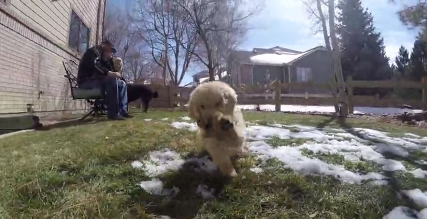 Golden Retriever puppy attacks GoPro
