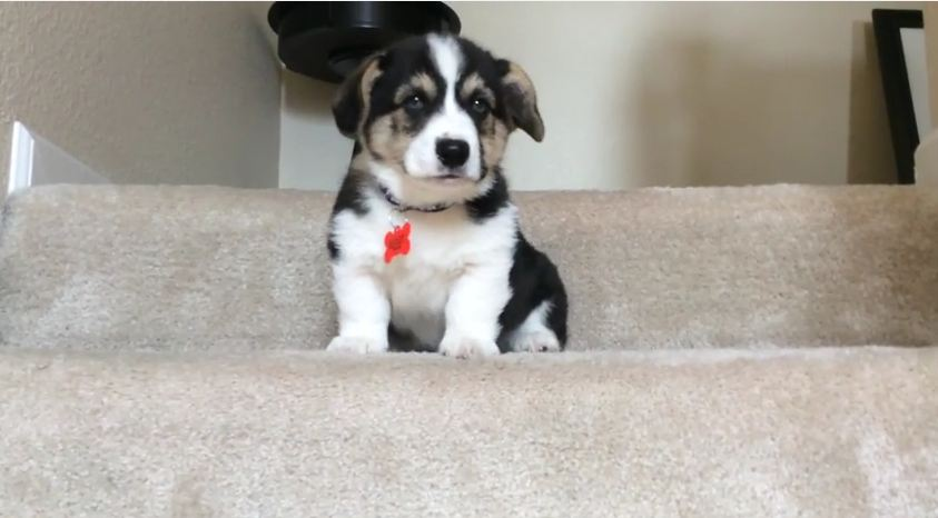 This Corgi Puppy's Struggle With The Stairs Will Get You Through Your Day