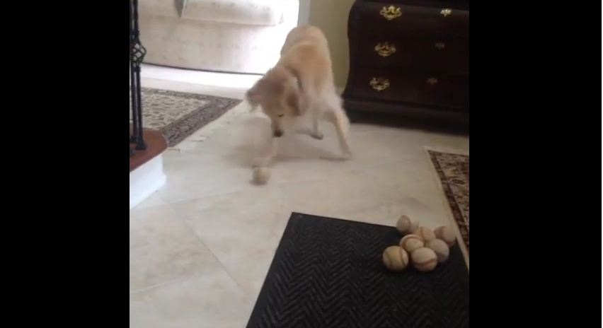 This Dog Missed The Ball He Was Rolled But The Way He Covers It Up Is Priceless!