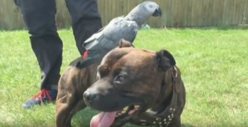 This PitBull's Friend Hitches Rides Wherever He Goes