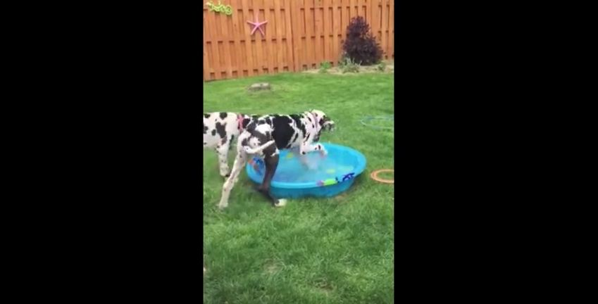 This Great Dane Wants Nothing More Than To be Able To Fit Into This Baby Pool