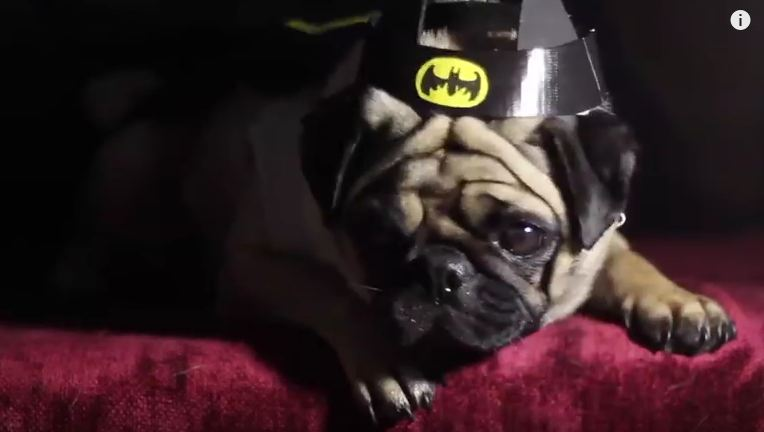 Proof That Pugs Are The Most Majestic Dogs In The World