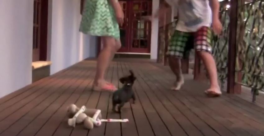This Adorable Little Puppy Doesn't Let ANYONE Mess With His Human