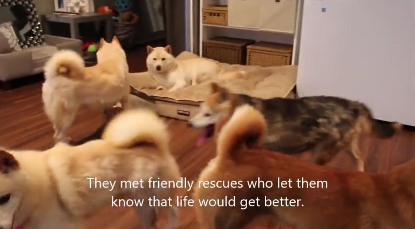 For These Shiba Inus, Life Was Always In A Cage…Until This Amazing Rescue