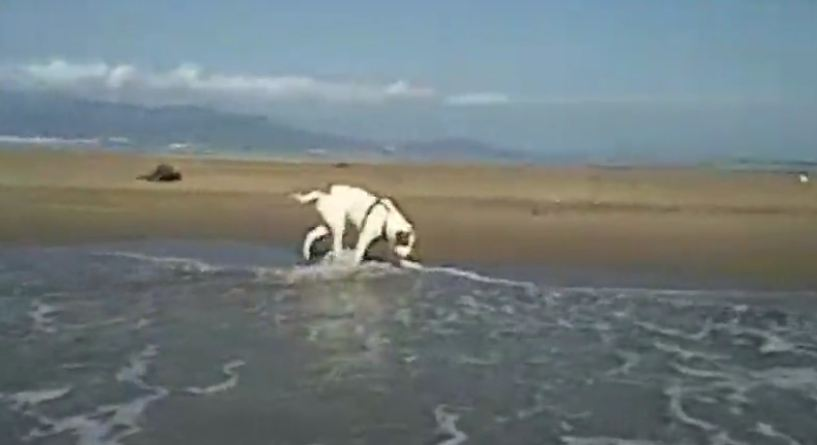 This Huge Mastiff Is Just A Big Baby When It Comes To Waves Crashing Ashore