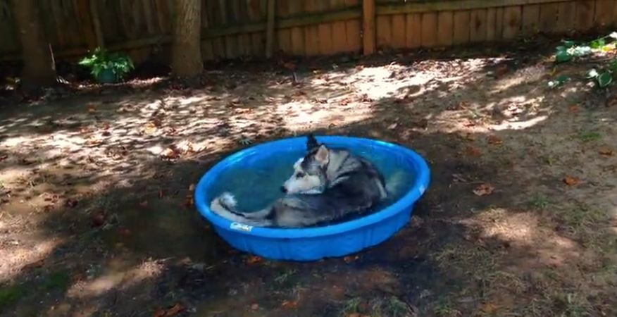This Sweet Husky Could NOT Be Happier About His New Pool