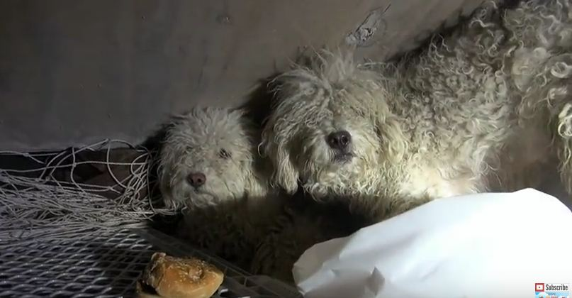 Two Poodles Struggled To Survive In The Sewer For Weeks — This Is Their Incredible Rescue