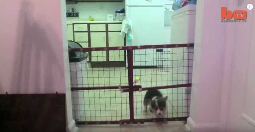 One Man Couldn't Figure Out How His Corgi Was Escaping…So He Set Up A Camera