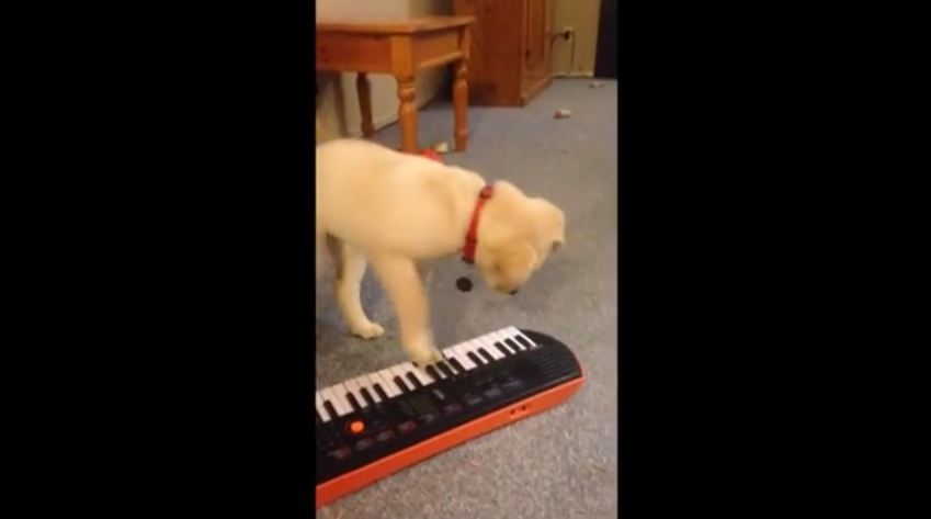 Puppy Absolutely Spellbound by Keyboard