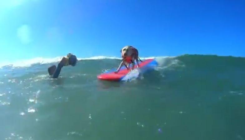 Surfing dogs hang ten