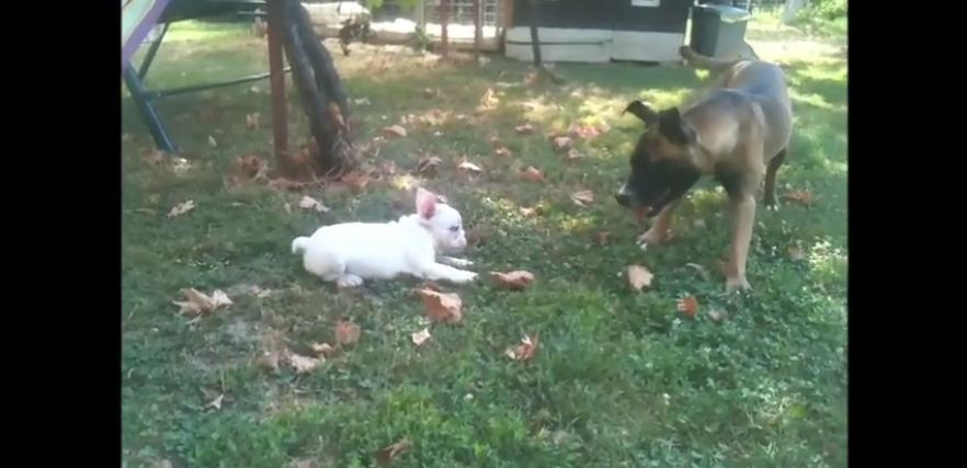 "Puppy ""attacking"" bigger dogs compilation"