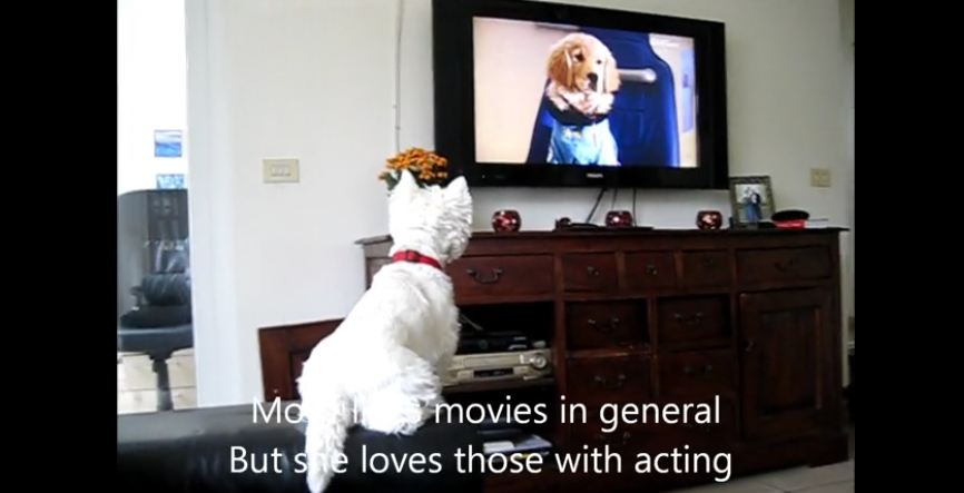 There's Nothing This Westie Loves More Than Watching A Good Movie