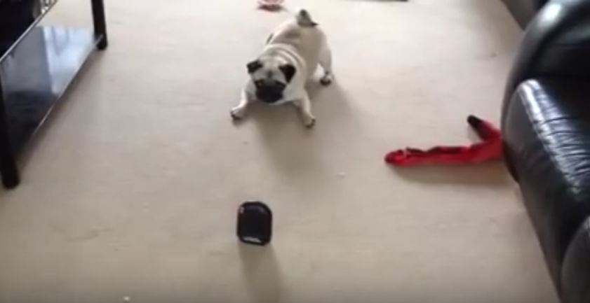 This Pug Just Met His New Enemy…And It's The Most Ridiculous Inanimate Object
