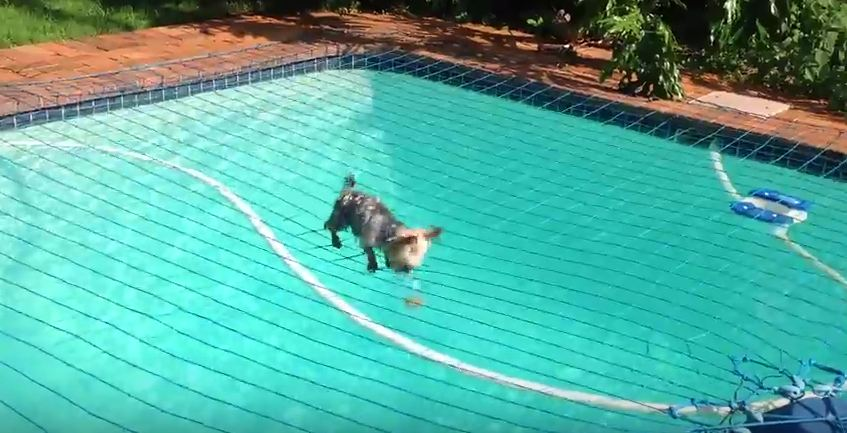 Watching This Pup Try To Get His Ball Back From Under The Pool Net Is The Best