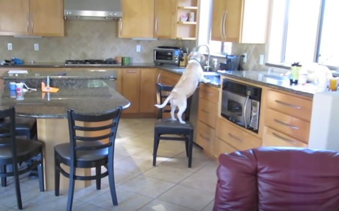 What This Beagle Does When His Humans Aren't Home Is Absolutely Genius