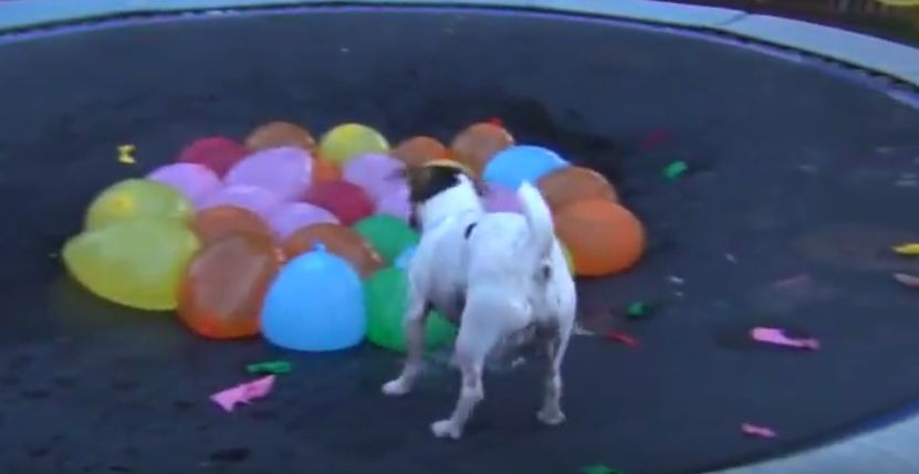 They Gave Their Dog Some Water Balloons, And This Is The Hilarious Result