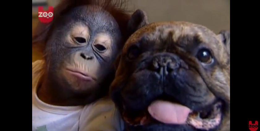Orphaned Baby Orangutan Has A New Babysitter