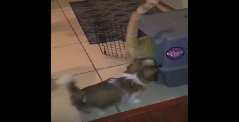 This Adorably Evil Puppy Knows Exactly What To Do With His Cat Rival