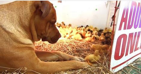What Do You Get When You Add A Giant Dog And 200 Ducklings? A Perfect Video!