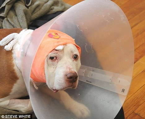 Dog Takes Bullet for Human, Ends up Homeless