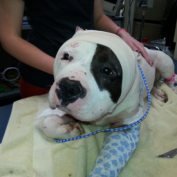 """Former Bait Dog to Be First in """"New Leash on Life"""" Program"""