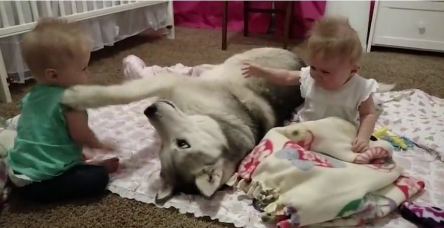 Loving Husky Has A Blast With Baby Twins