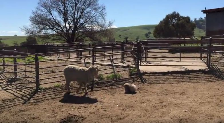 This Tiny Fluffball Of A Dog Tries To Herd Sheep — And It's Obviously Hilarious