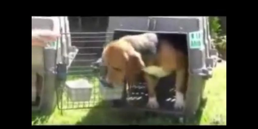 These Laboratory Dogs Lived A Life Of Hell Until This Very Moment