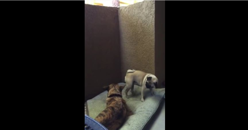 Pug throws temper tantrum over a bone
